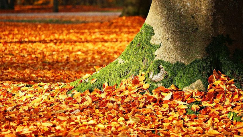 Leaves Should Be Shredded Before Used as Mulch